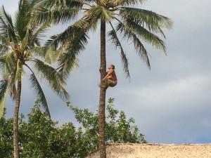 Samoa tree climbers